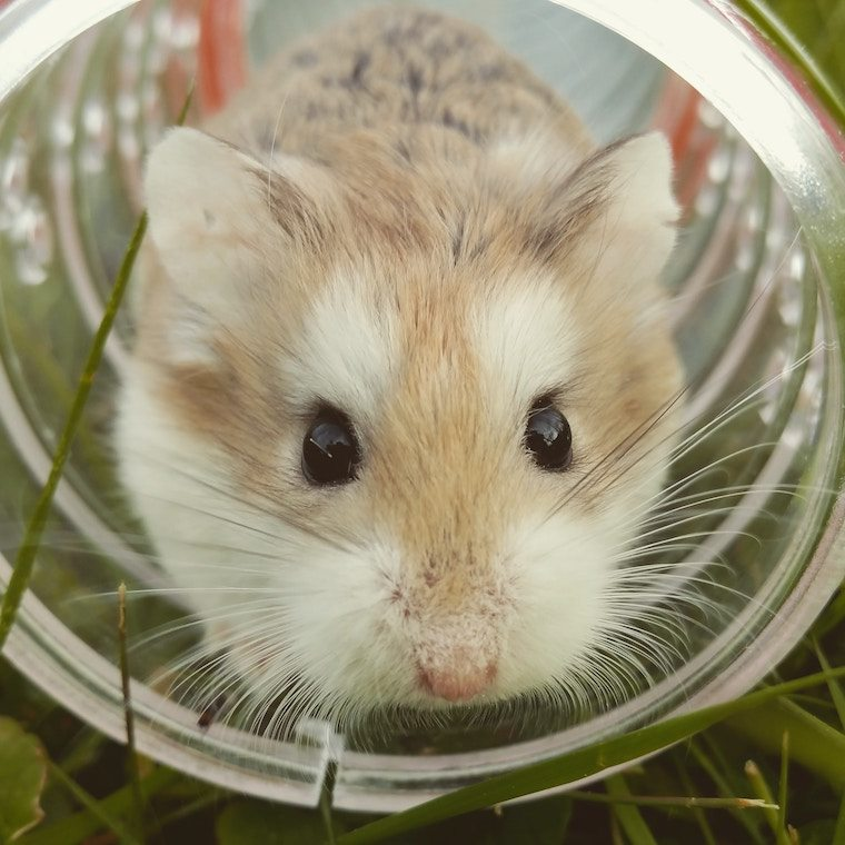 A hamster in a tube.