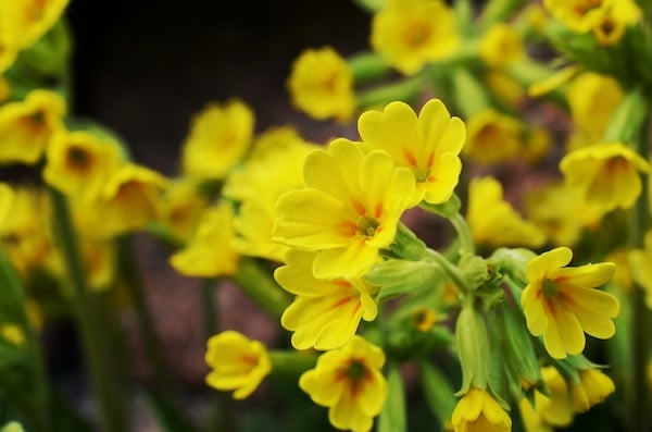 Primerose flowers.