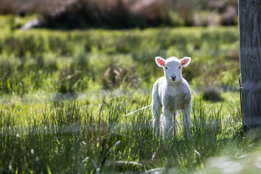 Baby sheep in a field.