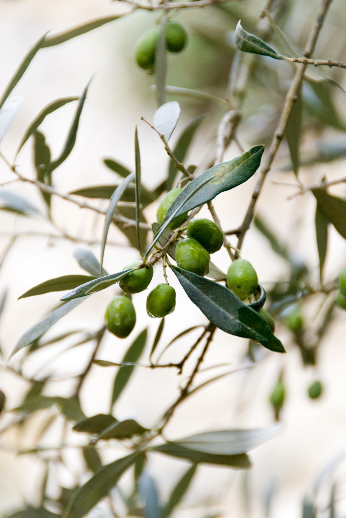 close up image of olives on an olive tree