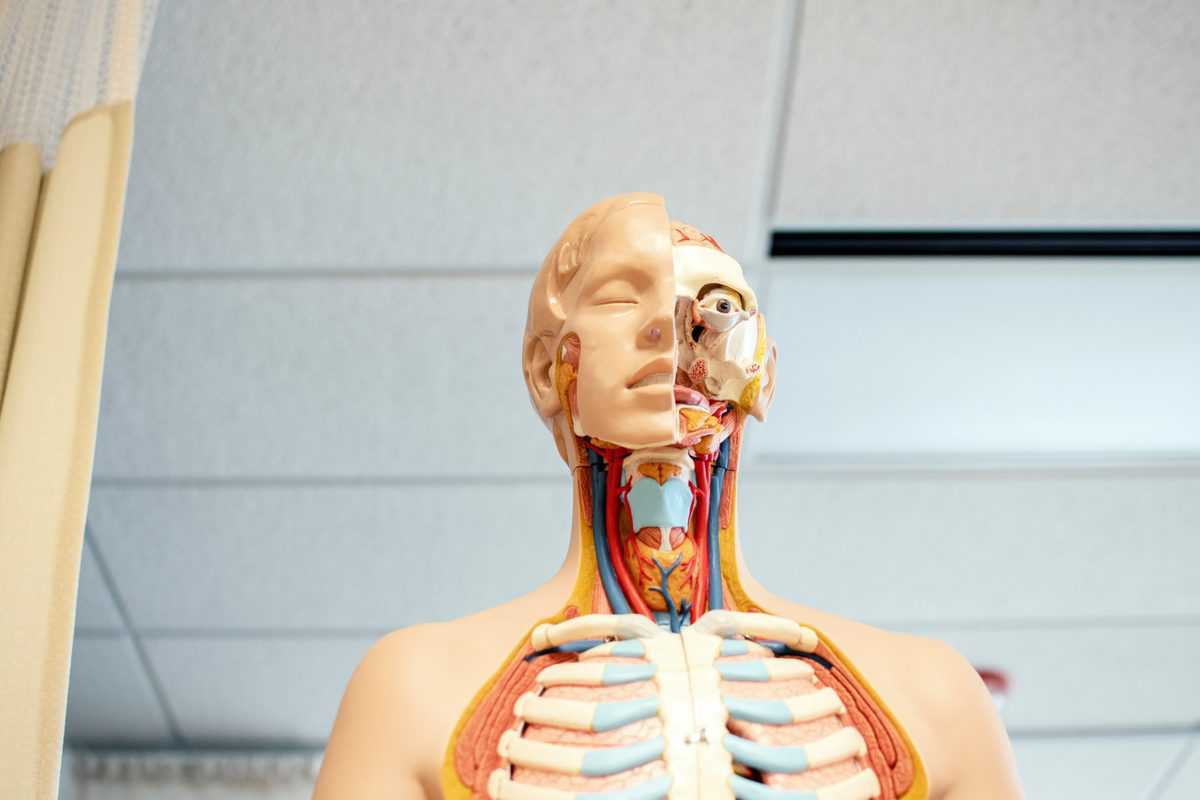 a medical dummy showing the location of the thyroid gland