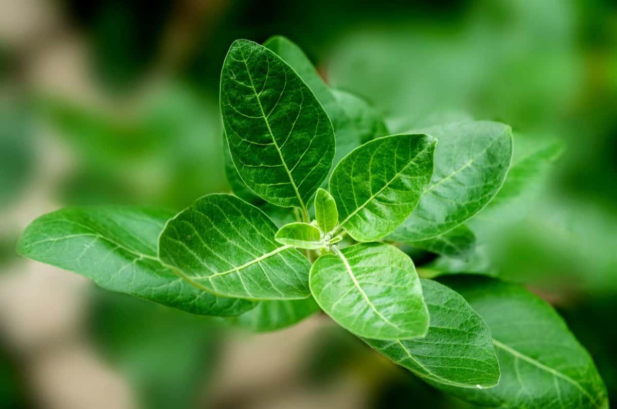 Close up of an ashwagandha herb.