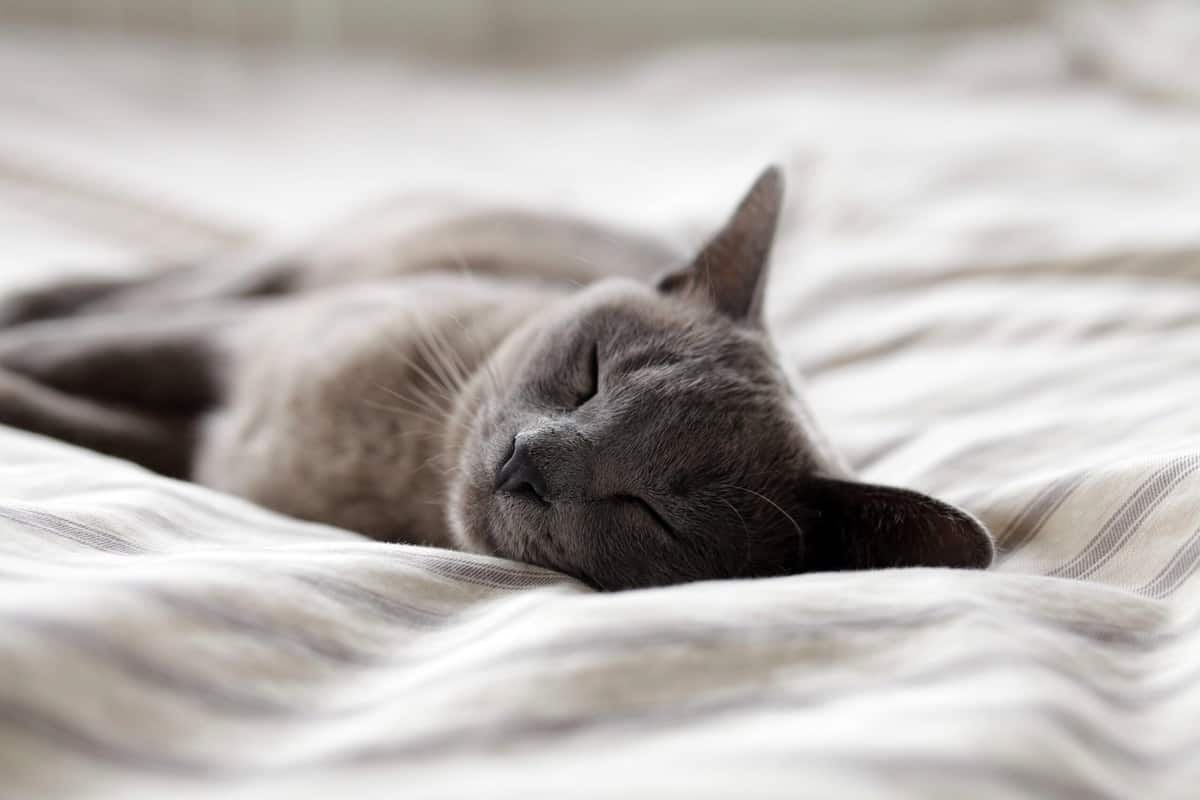 A grey cat sleeping on a bed.