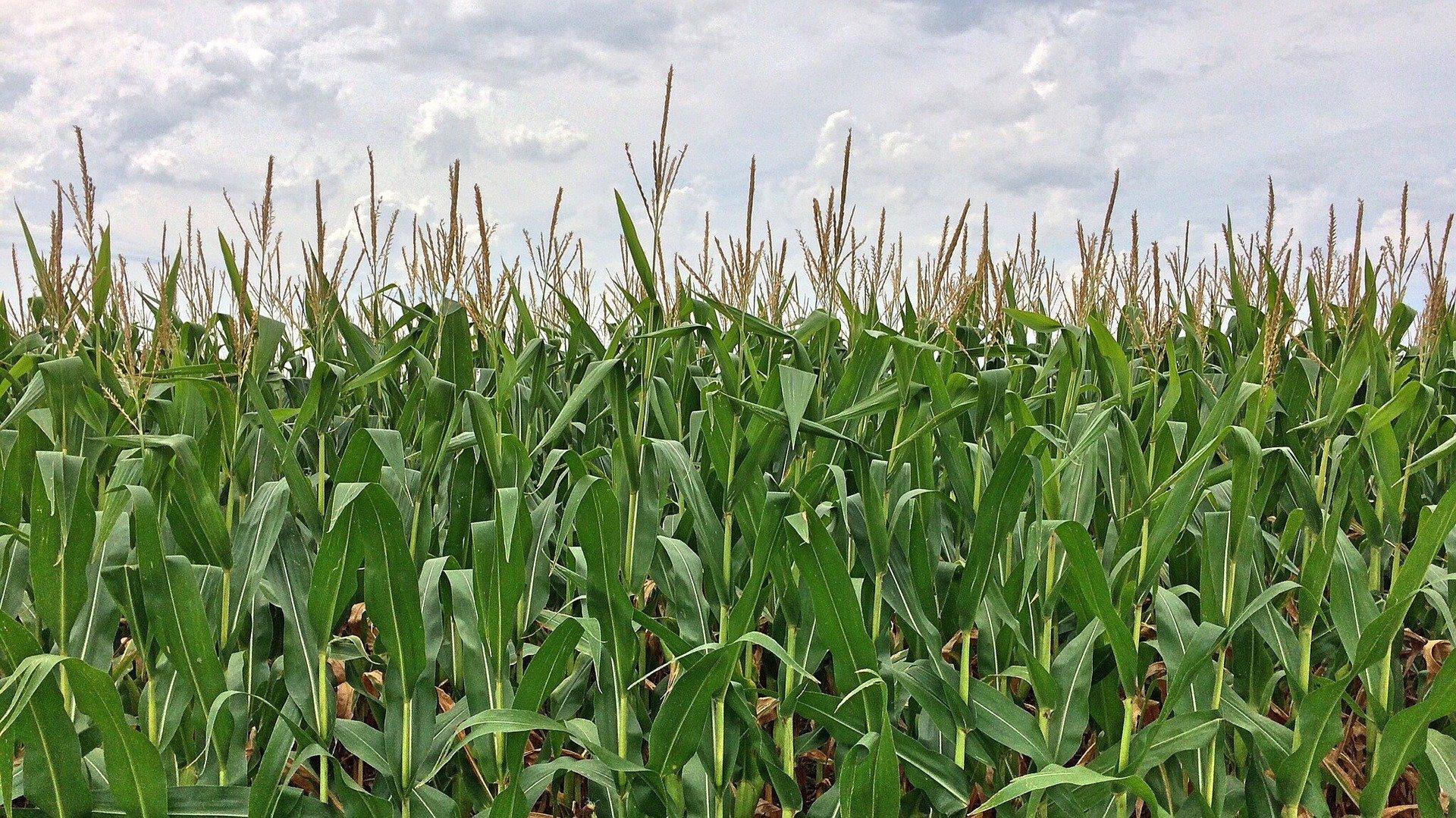 corn-892595_1920.jpg